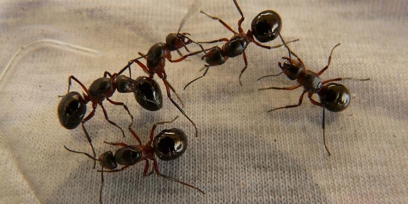 Formigues, un mal de cap ara que ve l'estiu